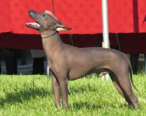Xoloitzcuintli – Mexican Hairless Dog | Travel With Doggie