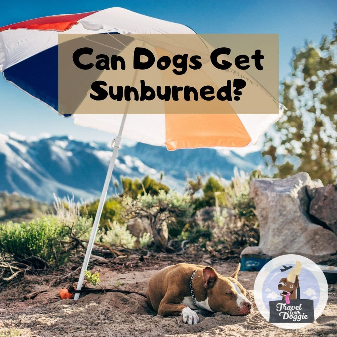 Can Dogs Get Sunburned | Travel With Doggie