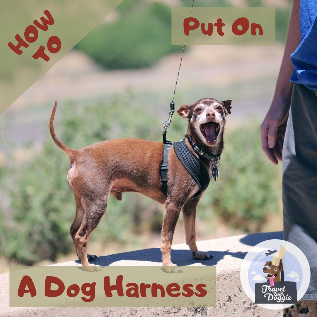 How To Put On A Dog Harness | Travel With Doggie