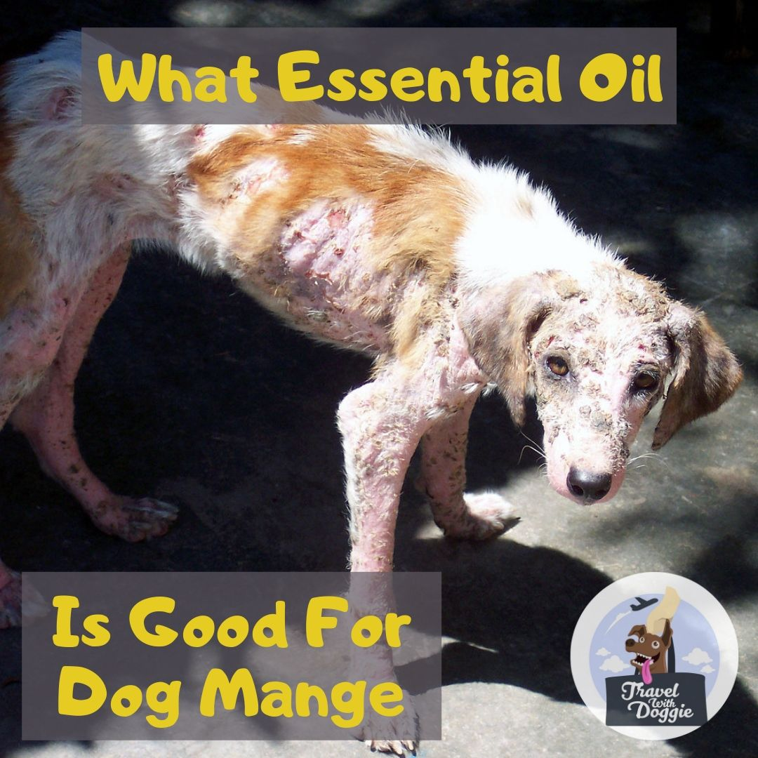 What Essential Oil Is Good For Dog Mange | Travel With Doggie