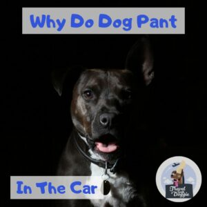 Why Do Dogs Pant In The Car | Travel With Doggie