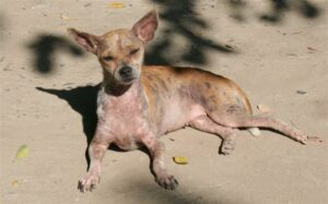 Sunburned Chihuahua | Travel With Doggie