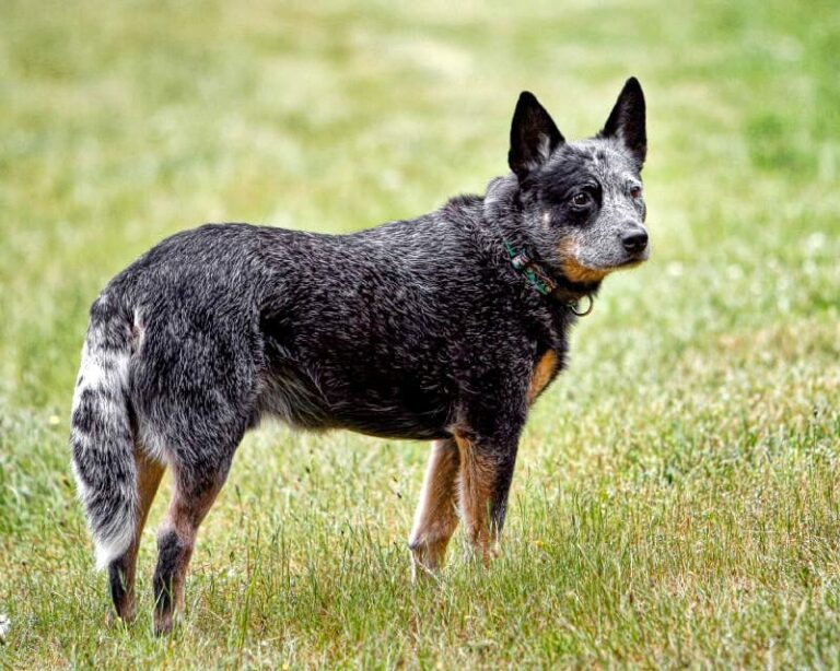 Australian Cattle Dog | Travel With Doggie