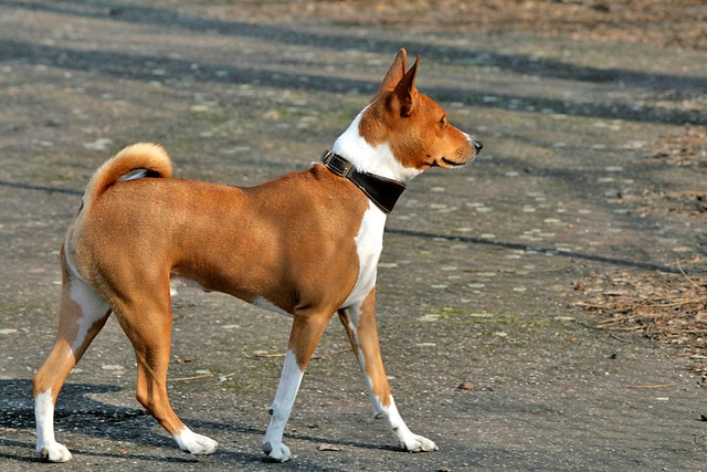 Basenji | Travel With Doggie