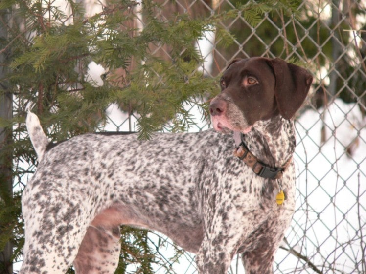 German Shorthaired Pointer | Travel With Doggie