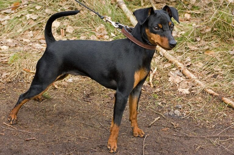 Mini Pinscher | Travel With Doggie