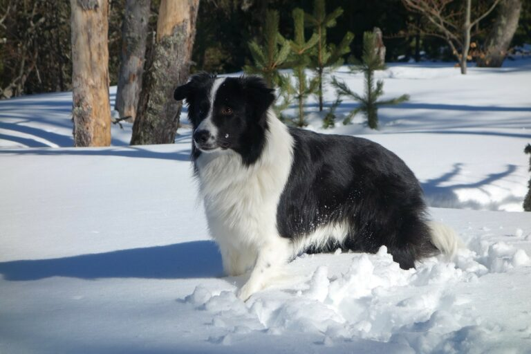 Border Collie | Travel With Doggie